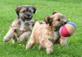 Tibet Terrier Welpen Internationaler Klub Fur Tibetische Hunderassen E V