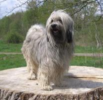 Tibet Terrier Internationaler Klub Fur Tibetische Hunderassen E V