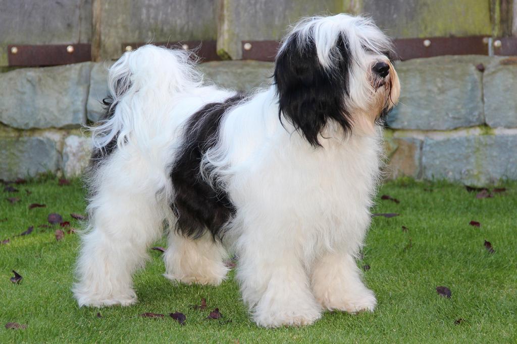 Fu Sha Mo S Maximum Max Made Of Dog S Wisdom Internationaler Klub Fur Tibetische Hunderassen E V