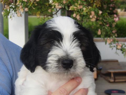 Tibet Terrier Welpe Rüde