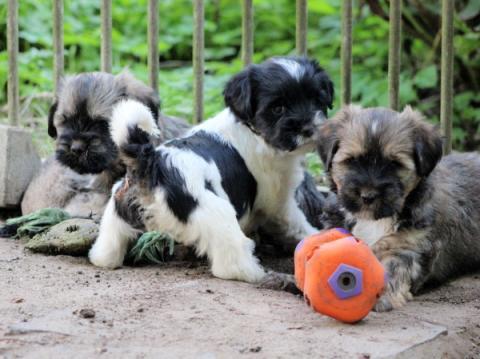 Welpen 2017 von Vayu  - wir sind sehr gespannt auf die kommenden Hundekinder