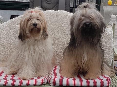 Tibet- Terrier Brautpaar  (Links Baruna- Rechts Kenzo)