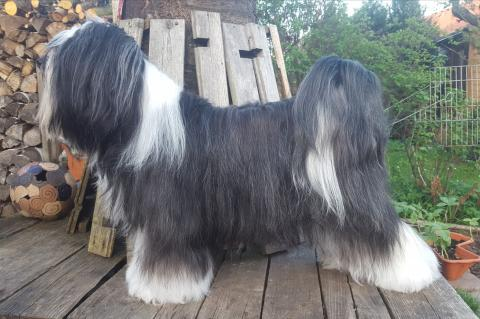 Tbet Terrier Hündin I Am Legend of Darkness