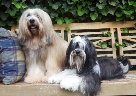 Tibet Terrier SKI-LA-KYI Hochzeitsbild