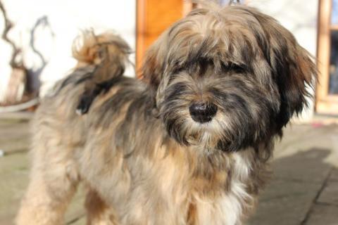 Scar - Rüde , zobel m.w. AZ, 5 Monate-temperamentvoll-lieb-lebenshungrig-typisch Tibet-Terrier!