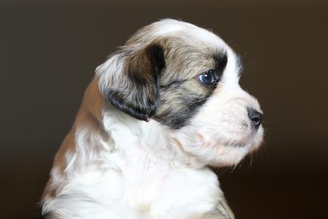 Tibet Terrier Hündin, zobel-weiß, Erstgeborene (Gen-ja) gesprochen (Tshenja)