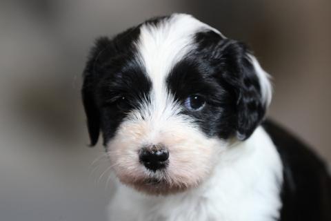 Tibet Terrier Rüde Gi-gu, vergeben
