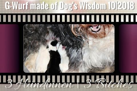 Tibet Terrier Welpen_NRW