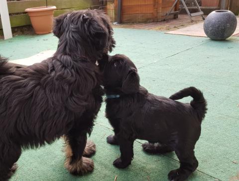 6 Wochen alter Welpe begrüßt seine 13 Wochen alte Tante