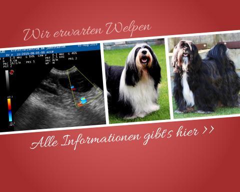 Ultraschallbild des H-Wurfs of Dog's Wisdom 09 2019, Vater und Mutter der Welpen