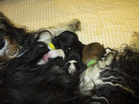 ... und wir sind die beiden Buben und zwei Mädchen in den Farben zobel und schwarz mit weißen Abzeichen am Tage unserer Geburt!
