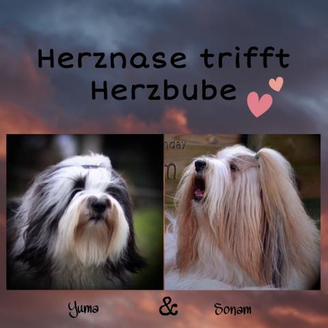Tibet Terrier Himalayapfoten Wurfplanung Chihosang Fu Yuma Welpen