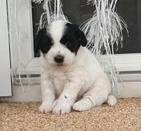 Tibet Terrier Welpen Vajrapasha