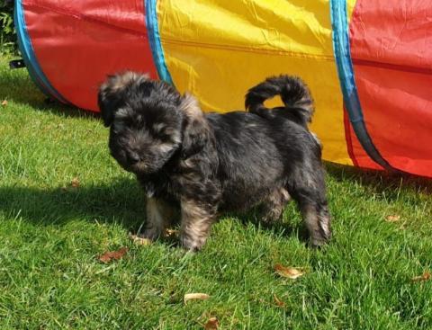Tibet Terrier Welpen Vajrapasha G-Wurf Rüde 1