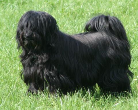 Tibet-Terrier Xandro im Gras