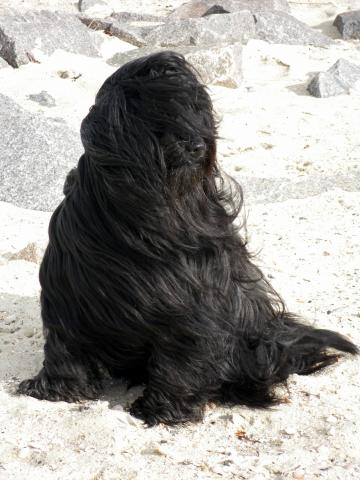 Unser Tibet-Terrier Xandro am Strand.