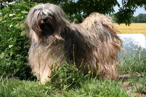 Unsere Tibet Terrier Hündin Yusha