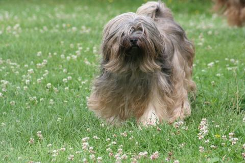 Auch mit 10 Jahren ist Yusha unsere immer lustige Tibet Terrier Hündin