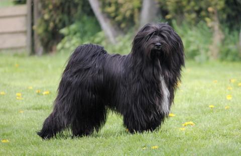 "Tibet Terrier Rüde ""Jampa"","", 12 Monate alt"