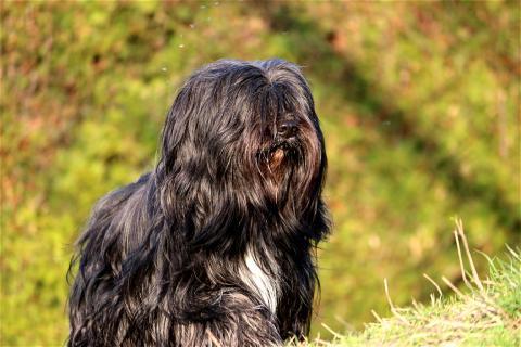 Jampa Tibet Terrier Rüde 5 Jahre alt