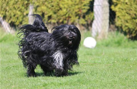 """Tibet Terrier Rüde """"Jampa"""" tobt auch gerne mit 5 Jahren"""