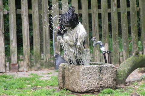 Nur wenige Tibet Terrier sind so verrückt nach Wasser