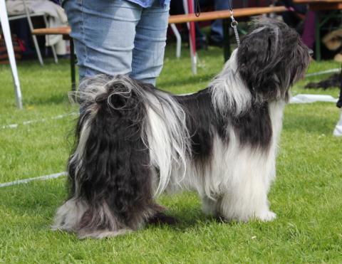 """Tibet Terrier Rüde """"Ni-co"""" ordentlich auf der Ausstellung"""