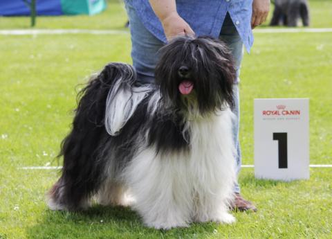 """Tibet Terrier Rüde """"Ni-co""""  auf der Ausstellung"""