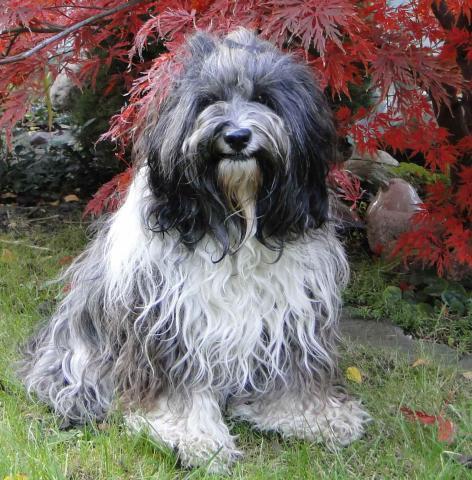 Tibet Terrier Inusha von Cin-ta-la im Herbst