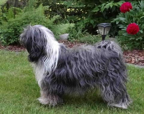 Tibet Terrier Inusha von Cin-ta-la
