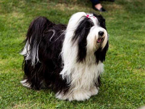 Tibet Terrier Hündin Im-chi im Freizeitlook