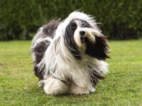 Tibet Terrier Hündin Im-chi