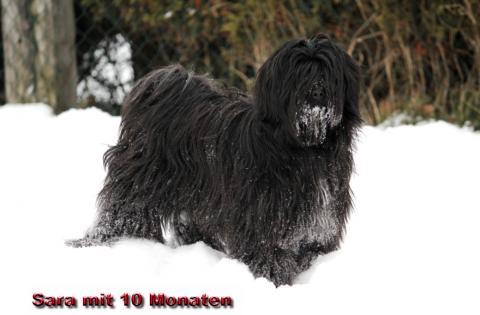 "Tibet Terrier Hündin ""Sara"""