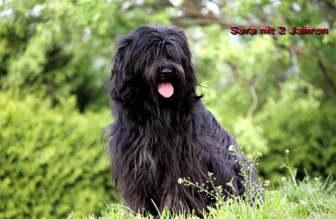 """Tibet Terrier Hündin """"Sara"""" mit 2 Jahren"""