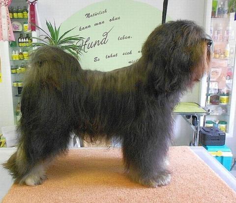Tibet Terrier Rüde Paras