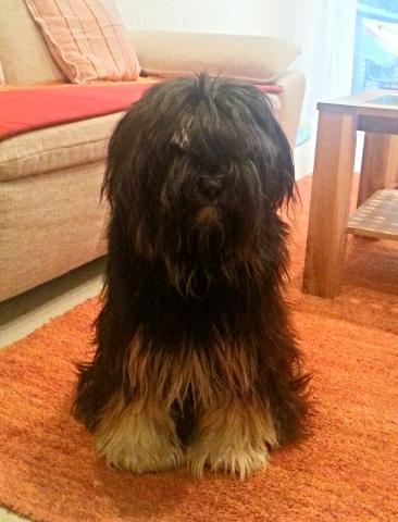 Tibet Terrier Barney daheim im Wohnzimmer