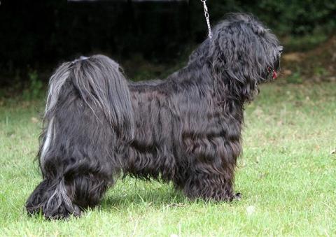 Tibet-Terrier Rüde Yeshi im Alter von 21 Monaten