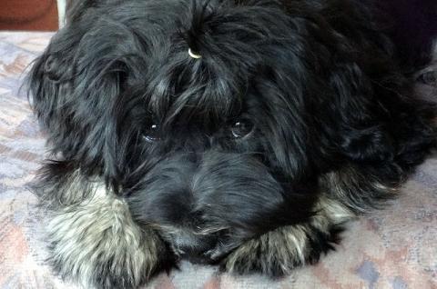 Tibet-Terrier Rüde Yeshi im Alter von 5 Monaten