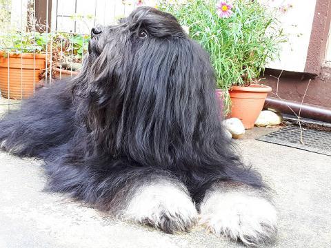 Tibet-Terrier Rüde Yeshi im April 2017 - 3 1/2 Jahre alt