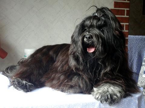 Tibet-Terrier Yeshi nach dem Baden, Fönen und Bürsten