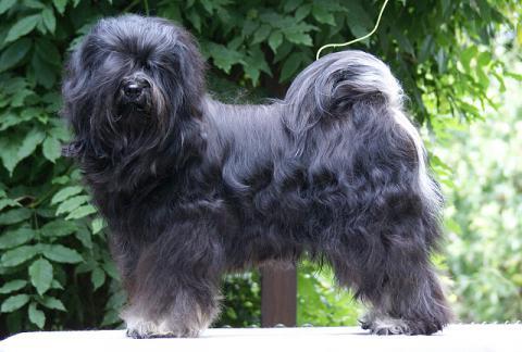 Tibet-Terrier Rüde Yeshi im August 2016