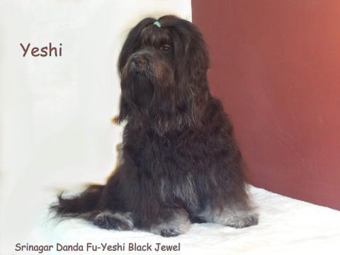 Tibet-Terrier Rüde Yeshi im Alter von 2 1/2 Jahren nach dem Kämmen