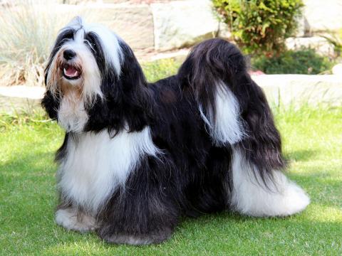 Kji Tch'ung Tch'ung Ayana_Hündin_Tibet Terrier_Oelde_Künzel