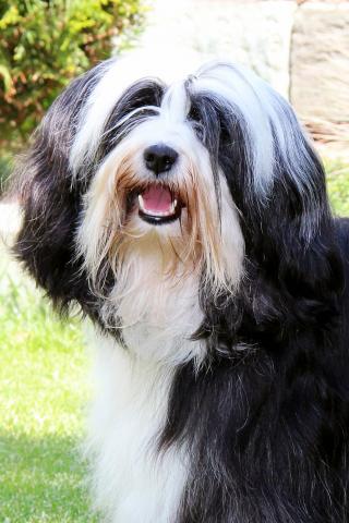 Kji Tch'ung Tch'ung Ayana_Tibet Terrier_Peter Künzel_Oelde_NRW_E-Wurf of Dog's Wisdom