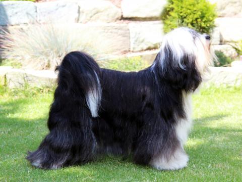 Kji Tch'ung Tch'ung Ayana_Tibet Terrier Hündin_Peter Künzel_Oelde_TTofDW