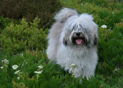 Tibet Terrier Hündin Chihosang Anjuli