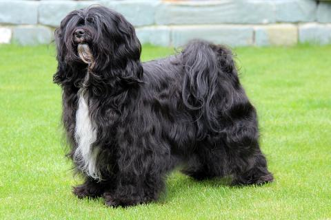 Tibet Terrier_Hündin_schwarz_Bur-Keeh's Beau-Teeh made of Dog's Wisdom_Peter Künzel_Oelde