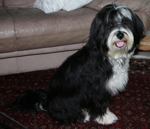 Tibet Terrier Hündin Chihosang Chandana 8 Mon.