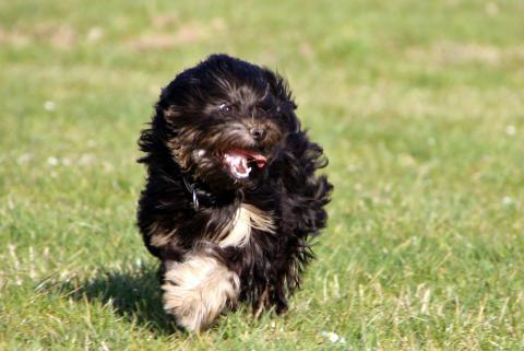 Shen-Mani E-pa Ma-la (Tibet Terrier mit 1 Jahr)