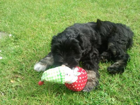 Tibet Terrier Welpe Marley. Spielend kurz nach der Ankunft im neuen Zuhause